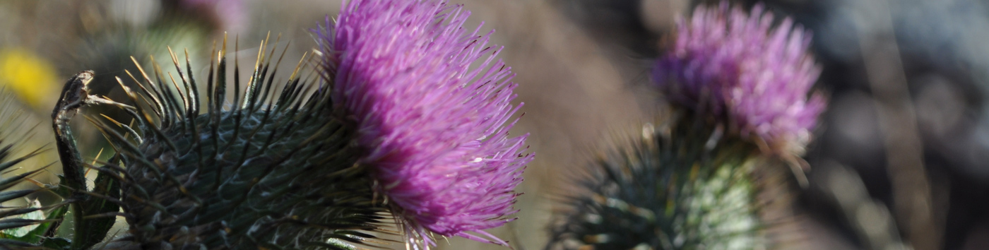 Lovely thistles outside at The Highland Bothies